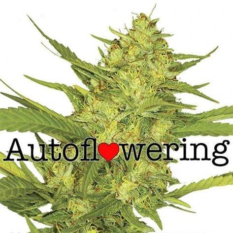 Sour Diesel Autoflower
