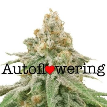 Wedding Cake Autoflower Seeds