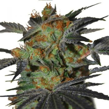 Agent Orange Seeds (fem)