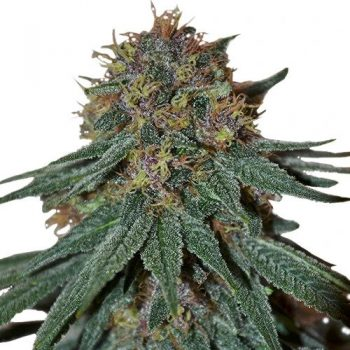 Purple Haze (fem)