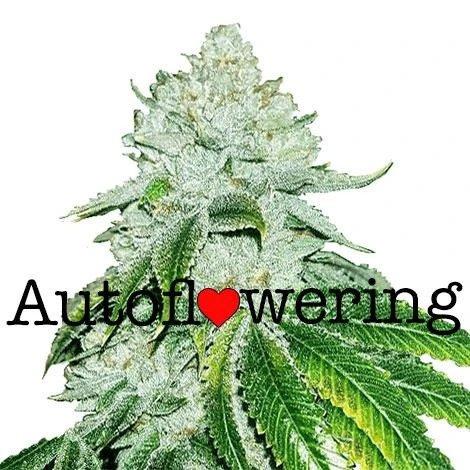 Gelato Autoflower Seeds