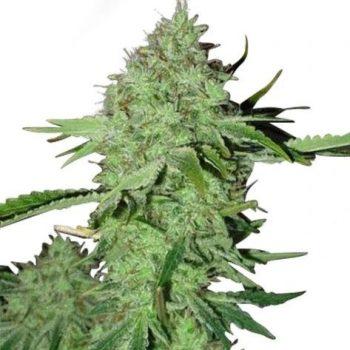 Crystal Seeds (fem)